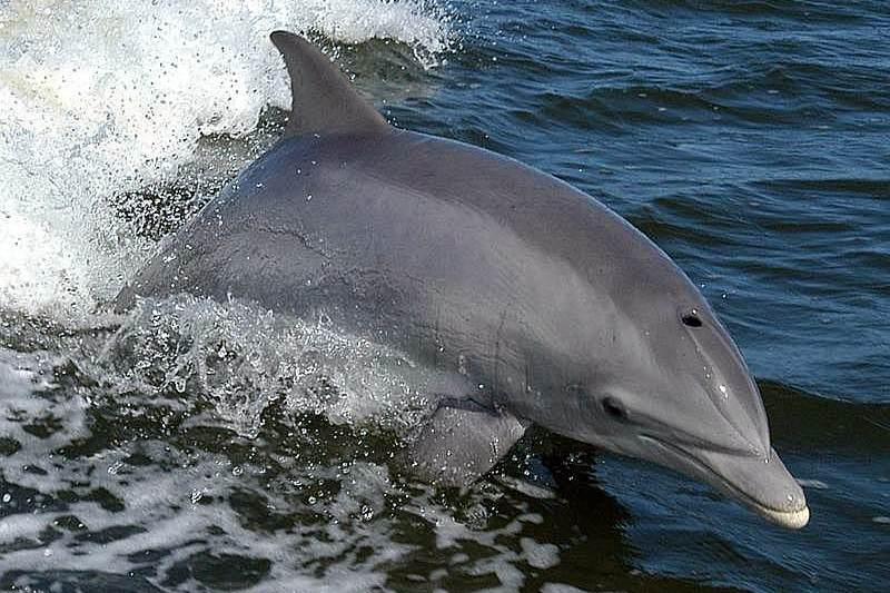Delfino tursiope comune (Tursiops truncatus)