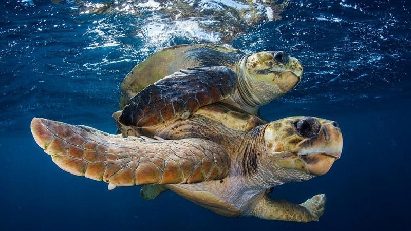 Kenya. Tartarughe marine