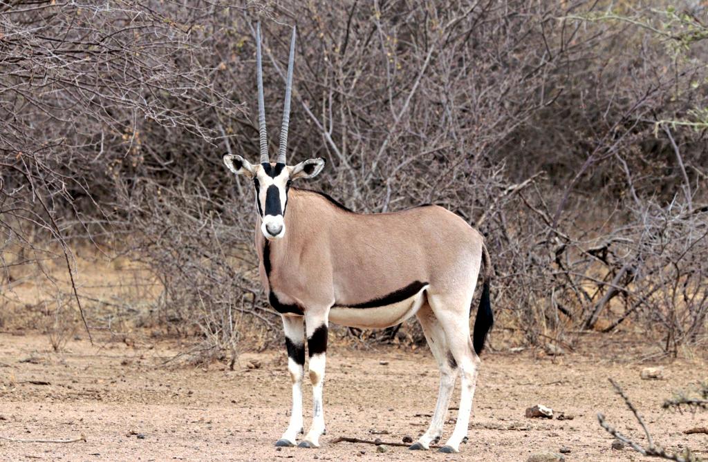 Orice dell'Africa orientale -  East African oryx (Oryx beisa beisa)