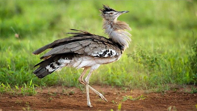 Otarda di Kori. Parco Nazionale Tsavo Est