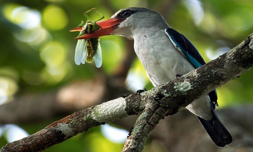 Martin pescatore africano delle mangrovie - Mangrove Kingfisher - (Halcyon senegaloides)