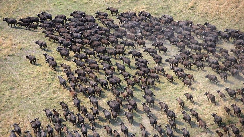 Mandria di bufali africani