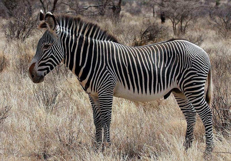 Zebra di Grévy. Stallone.