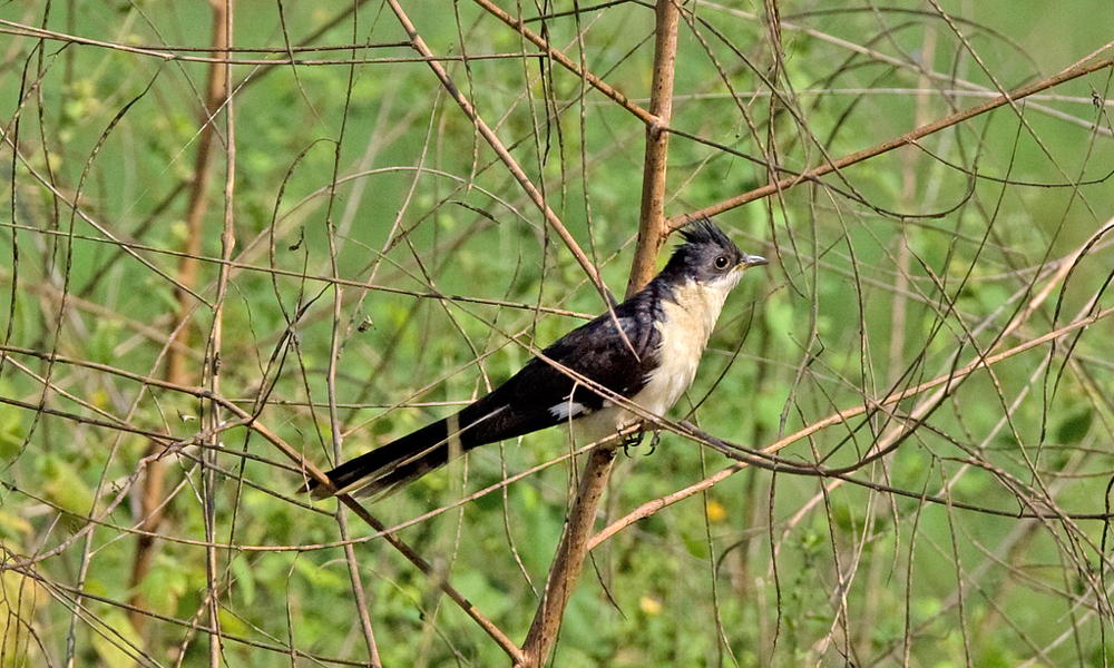 Cuculo bianco e nero - Pied Cuckoo or Jacobin Cuckoo or Black and White Cuckoo - (Clamator jacobinus)