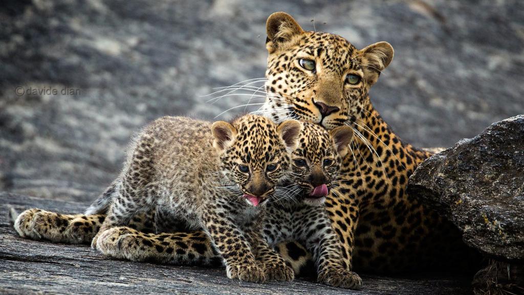 Cuccioli di leopardo. Masai Mara, Kenya