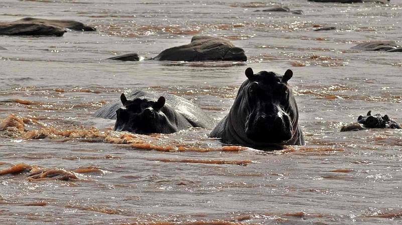 Kenya. Hippo Sabaki River