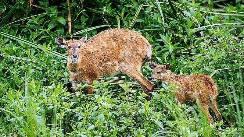 Sitatunga. Saiwa Swamp National Park