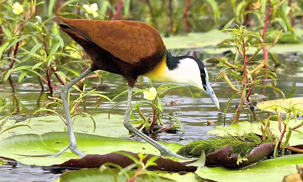 Jacana africana - African Jacana - (Actophilornis africanus)
