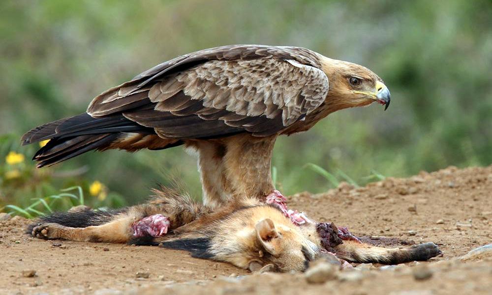 Aquila rapace - Tawny Eagle - (Aquila rapax)