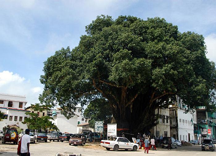 Il grande albero in Mizingani Road-Stone Town Zanzibar