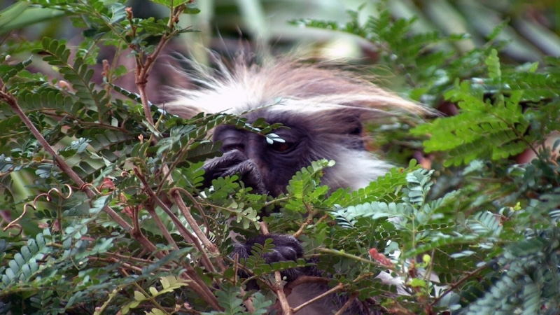 Kenya. Còbolo orientale in bianco e nero - Eastern Black & White Colobus (Colobus Guereza)