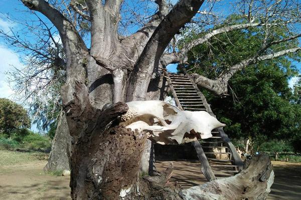 L'ultima casa di Mekatilili wa Menza. Scavò un albero di baobab e si costruì una stanza al suo interno.