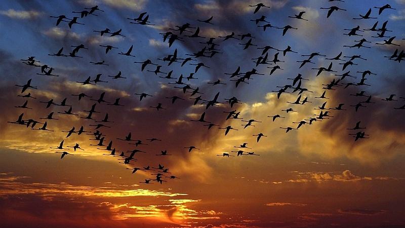 Kenya. Fenicotteri in volo