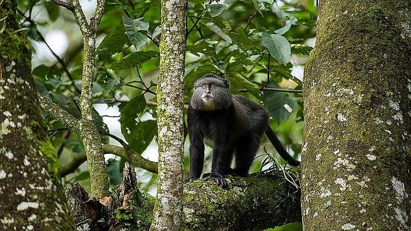 Scimmia blu. Foresta Kakamega