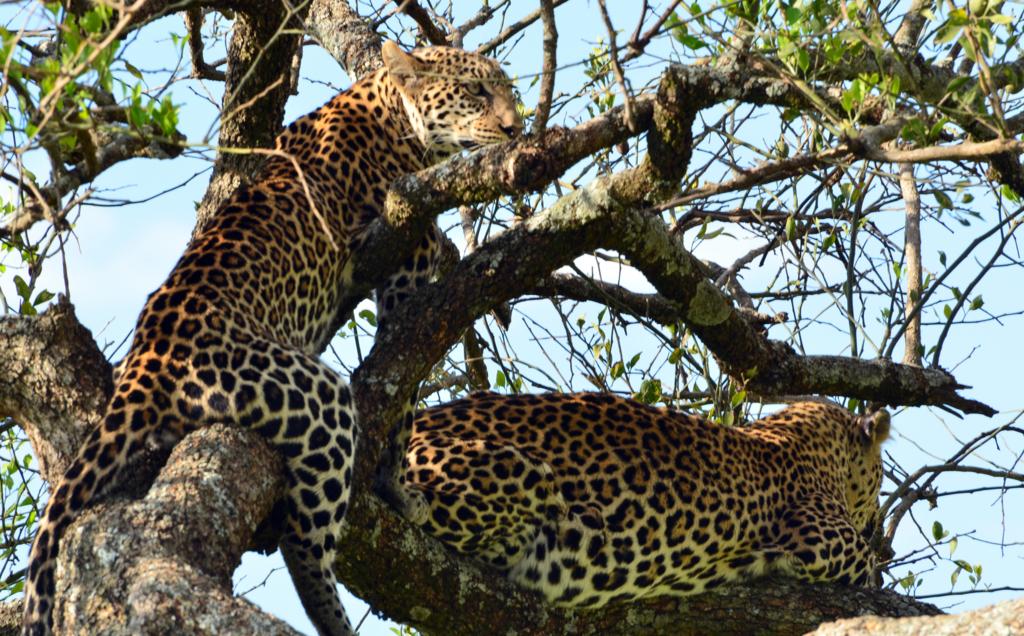 Leopardi sull'albero