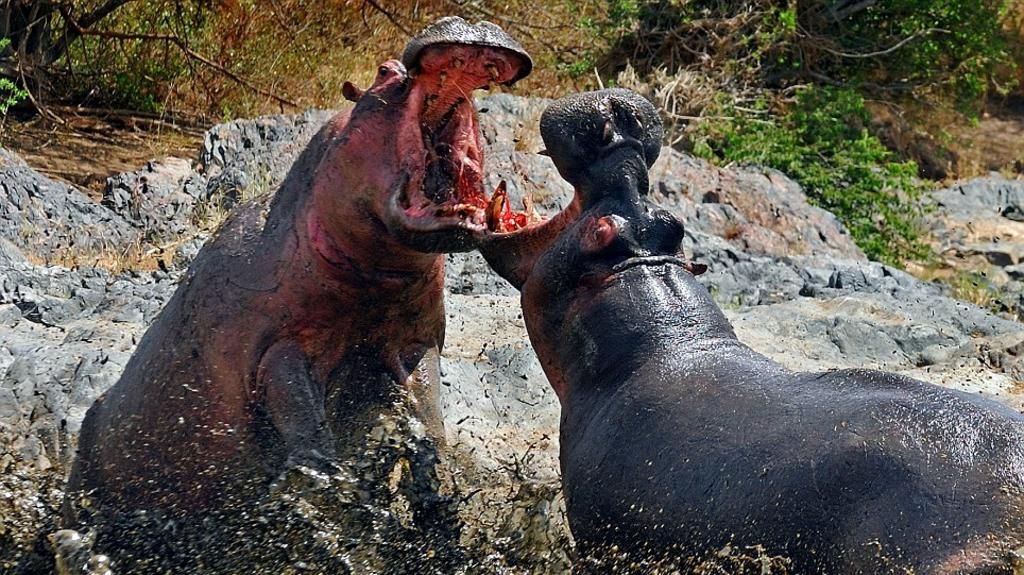 Ippopotami in lotta