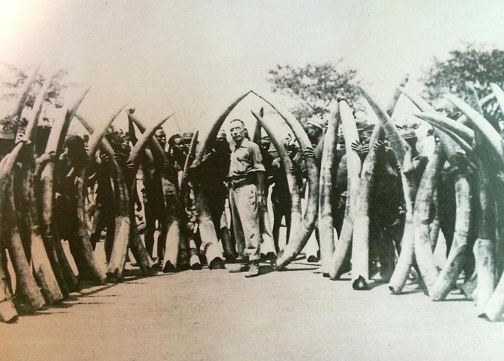 James H. Sutherland con l'avorio - Ubangi-Sciari 1925