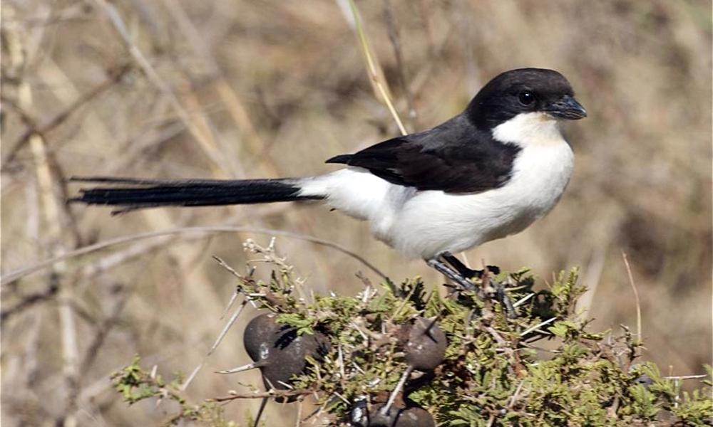 Averla dorsonero dalla lunga coda - Long tailed Fiscal - (Lanius cabanisi)