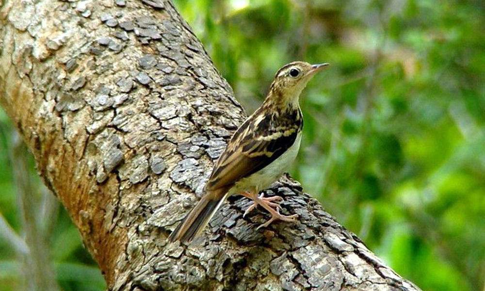 Pispola di Sokoke - Sokoke Pipit - (Anthus sokokensis)