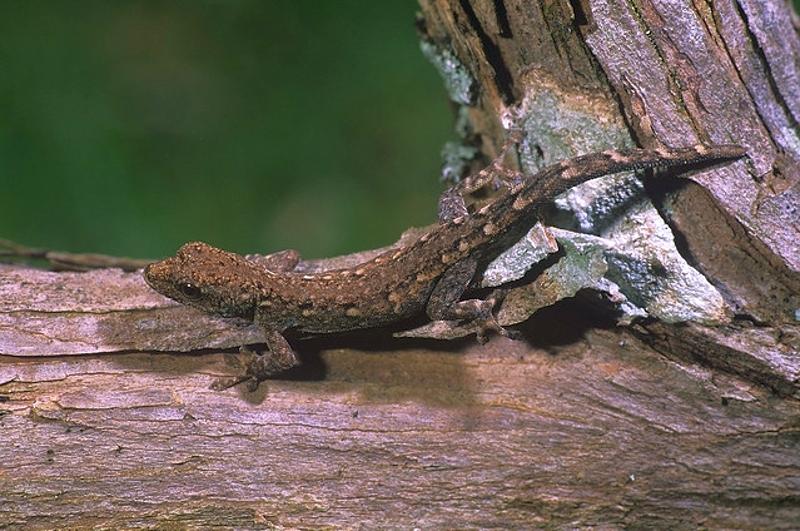 Geco nano del Kenya (Lygodactylus keniensis)