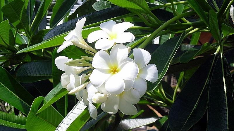 Kenya. Fiore del Paradiso (Plumeria obtusa) conosciuta anche come Frangipane