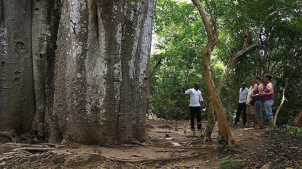Baobab at Mnarani Ruins