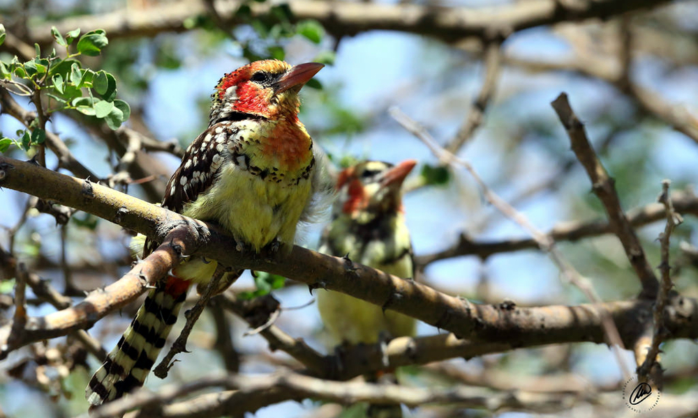 Barbuto testarossa del Kenia - Red and yellow Barbet - (Trachyphonus erythrocephalus erythrocephalus)