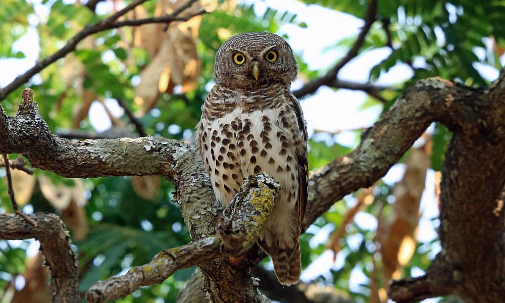 Civettina barrata africana - African Barred Owlet - (Glaucidium capense)