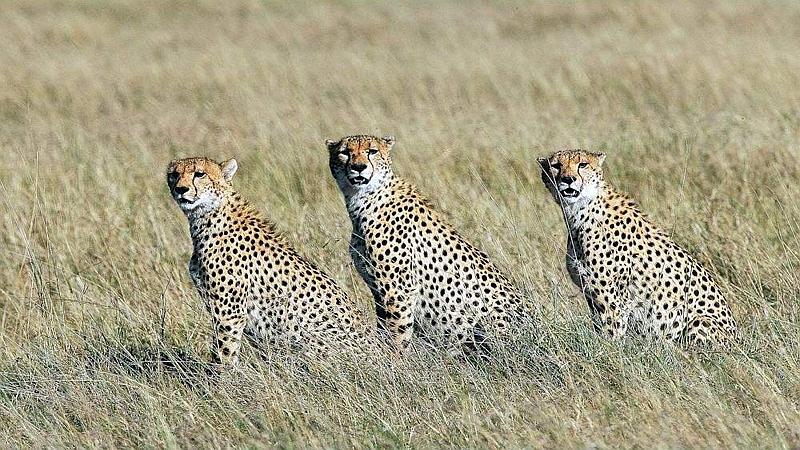 Ghepardi. Riserva Nazionale Masai Mara