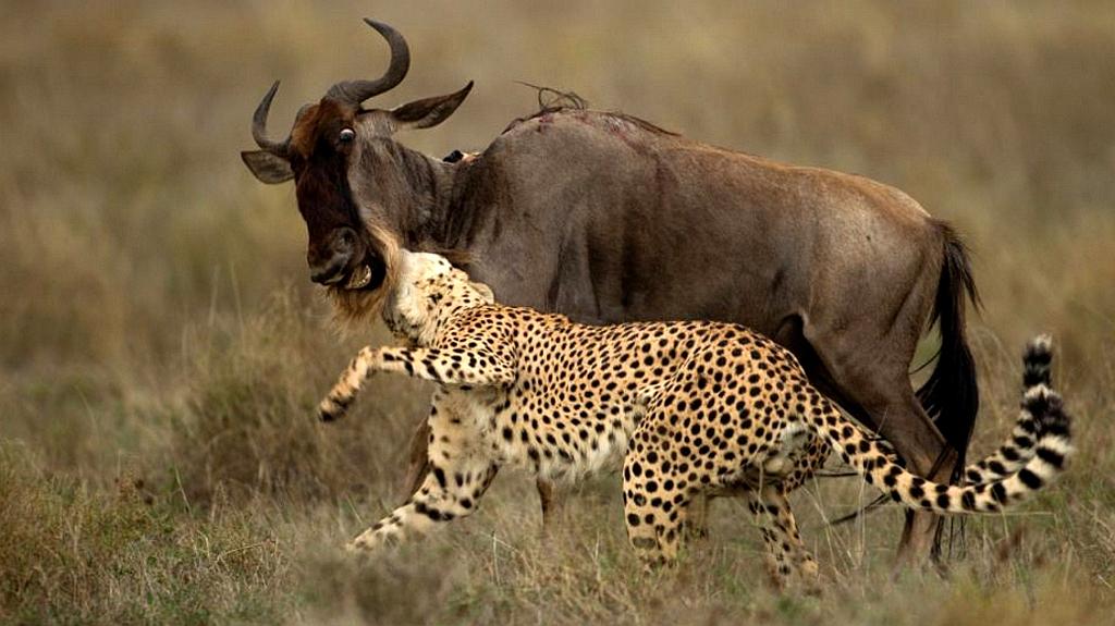 Ghepardo attacca uno gnu