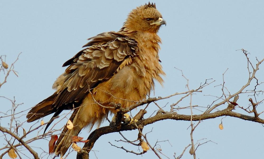 Aquila di Wahlberg - Wahlberg's Eagle - (Hieraaetus wahlbergi)