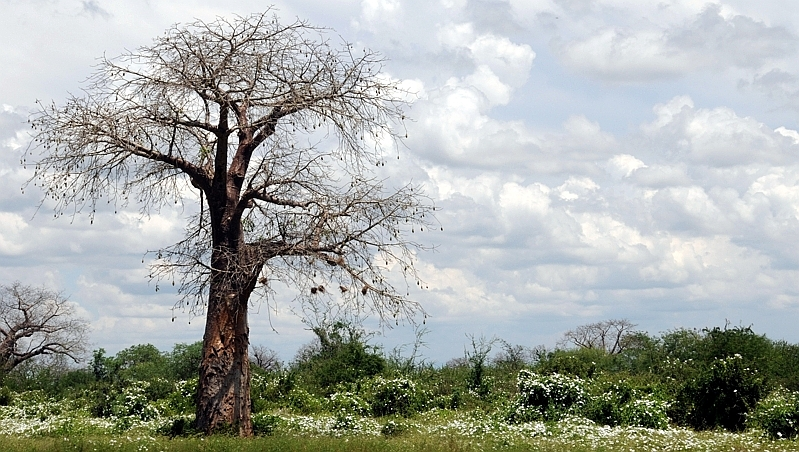 Kenya. Baobab africano (Adansonia digitata)