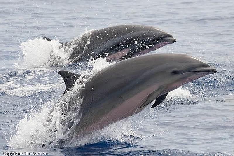 Delfino di Fraser (Lagenodelphis hosei)