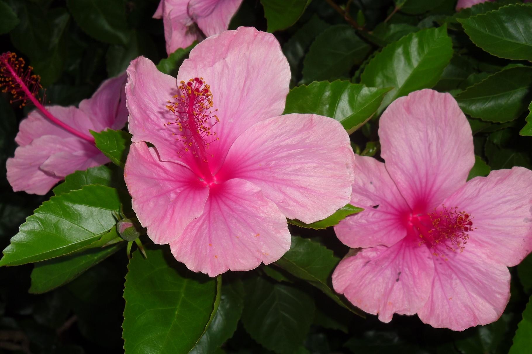 Ibisco. Fiore di Hibiscus rosa-sinensis.