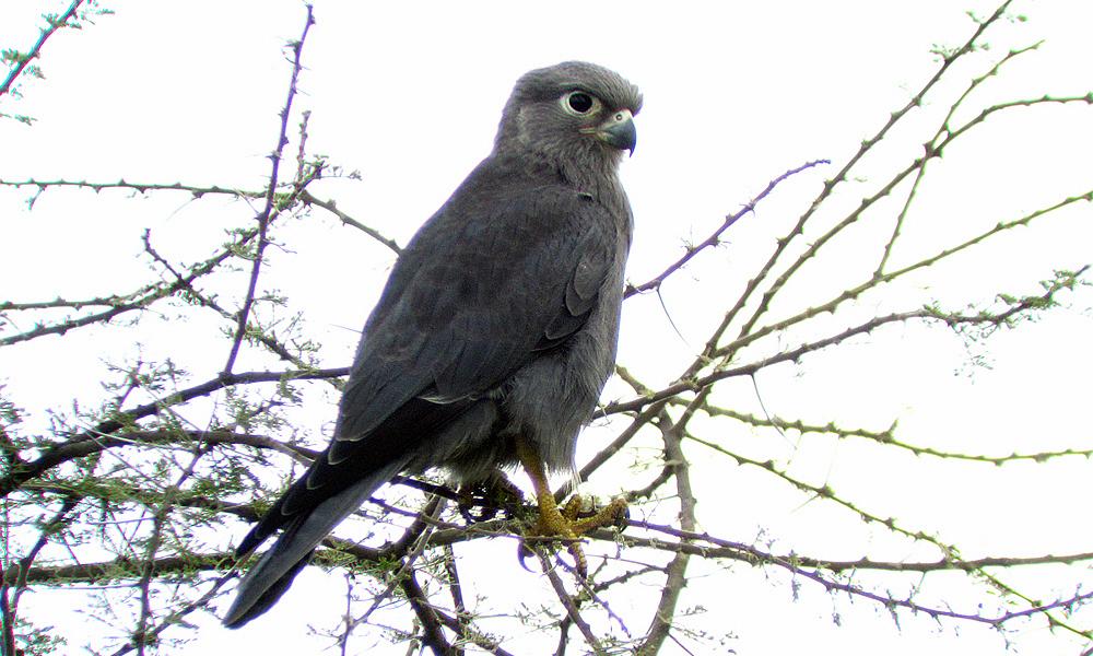 Gheppio grigio - Gray Kestre - (Falco ardosiaceus)