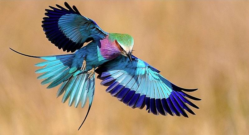 Kenya. Ghiandaia marina pettolilla - Lilac breasted Roller (Coracias caudatus)