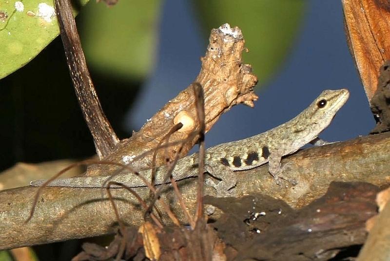 Geco nano di Scheffler (Lygodactylus scheffleri)