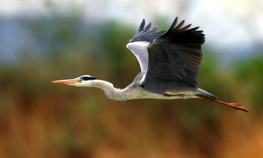 Airone cenerino - Grey Heron - (Ardea cinerea)