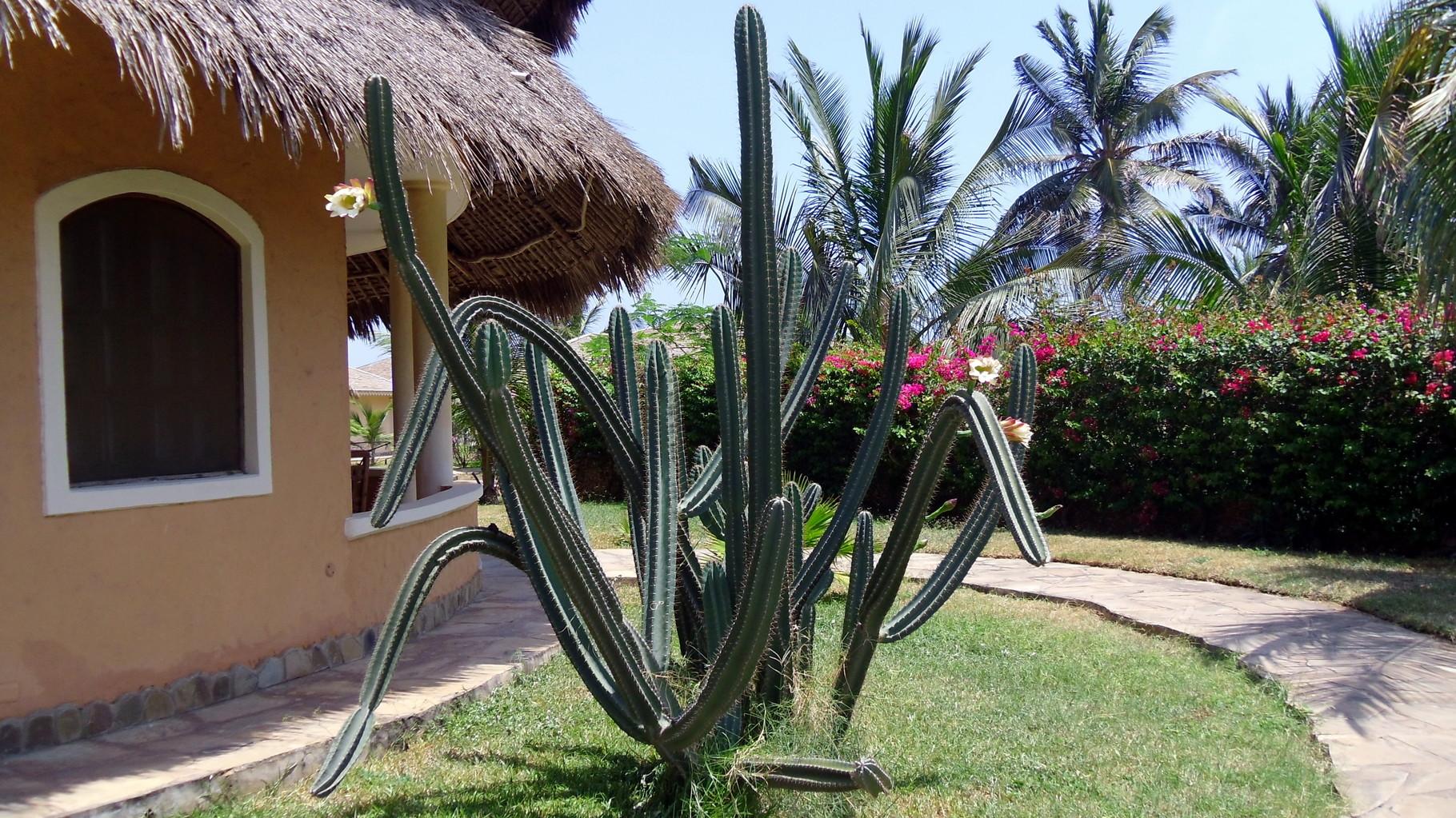 Cactacea - Cactus.