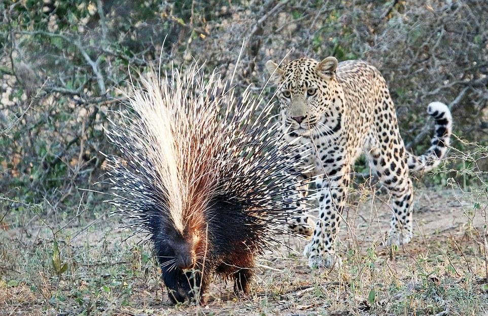 Istrice africano inseguito dal leopardo predatore