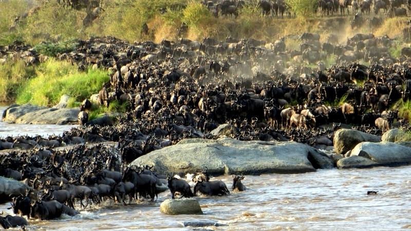 Kenya. Fiume Mara. La migrazione