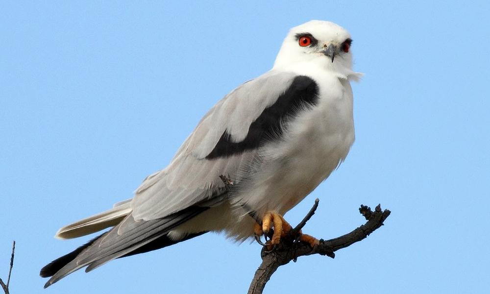 Nibbio bianco - Black-winged Kite - (Elanus caeruleus)