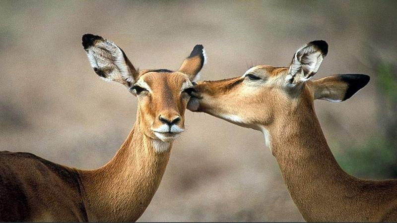 Impala. Riserva Nazionale Samburu