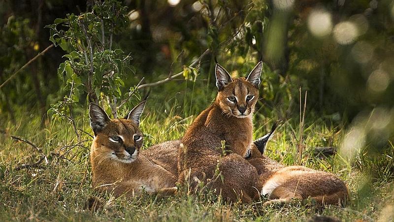 Kenya. Caracal (Caracal caracal)