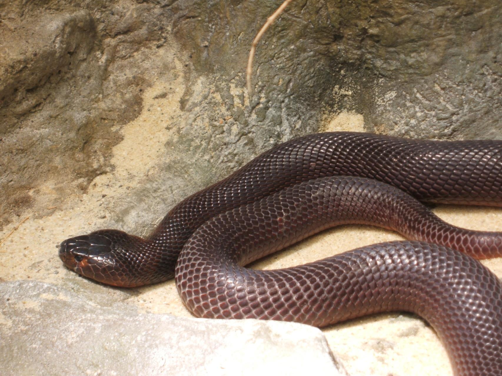 Cobra sputatore rosso (naja pallida)