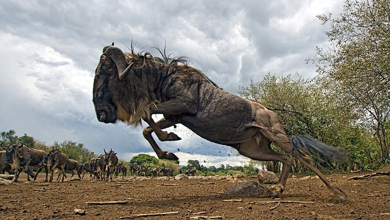 Kenya. Gnu blu (Connochaetes taurinus). Riserva Masai Mara