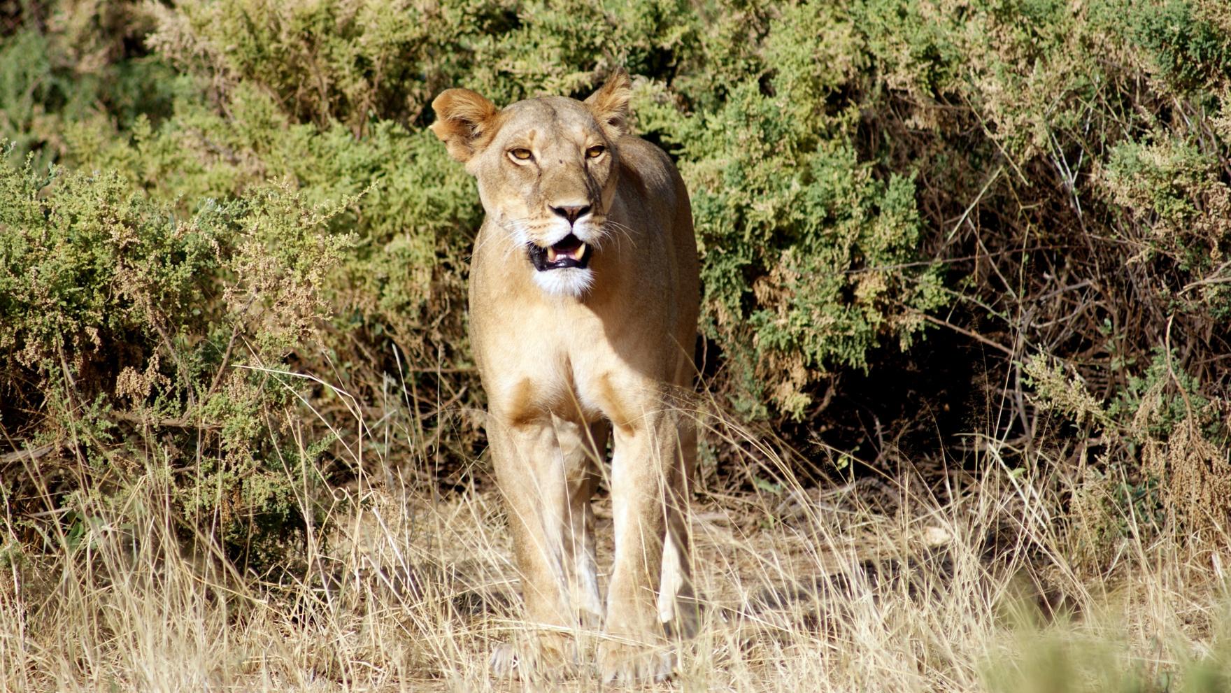Leonessa nella Samburu National Reserve, Kenya