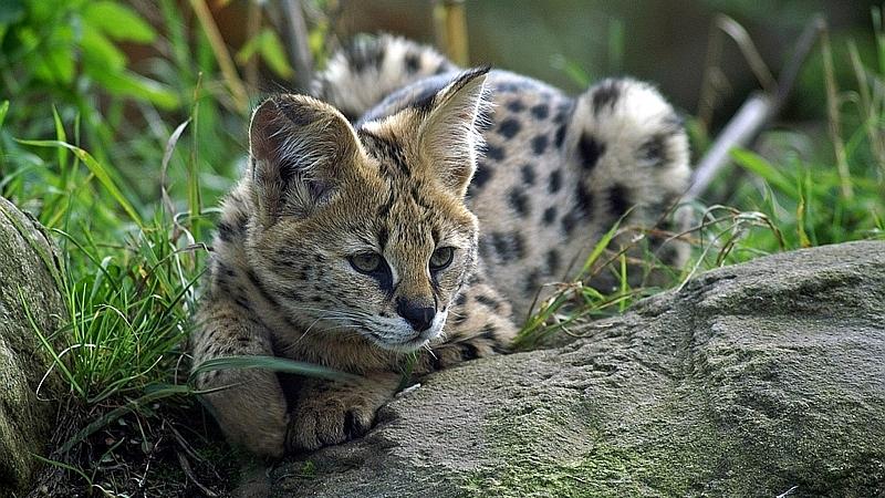 Kenya. Servalo - Serval (Leptailurus serval)