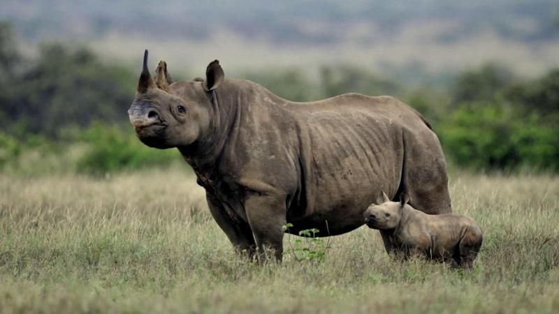 Kenya. Rinoceronti al Nakuru Park