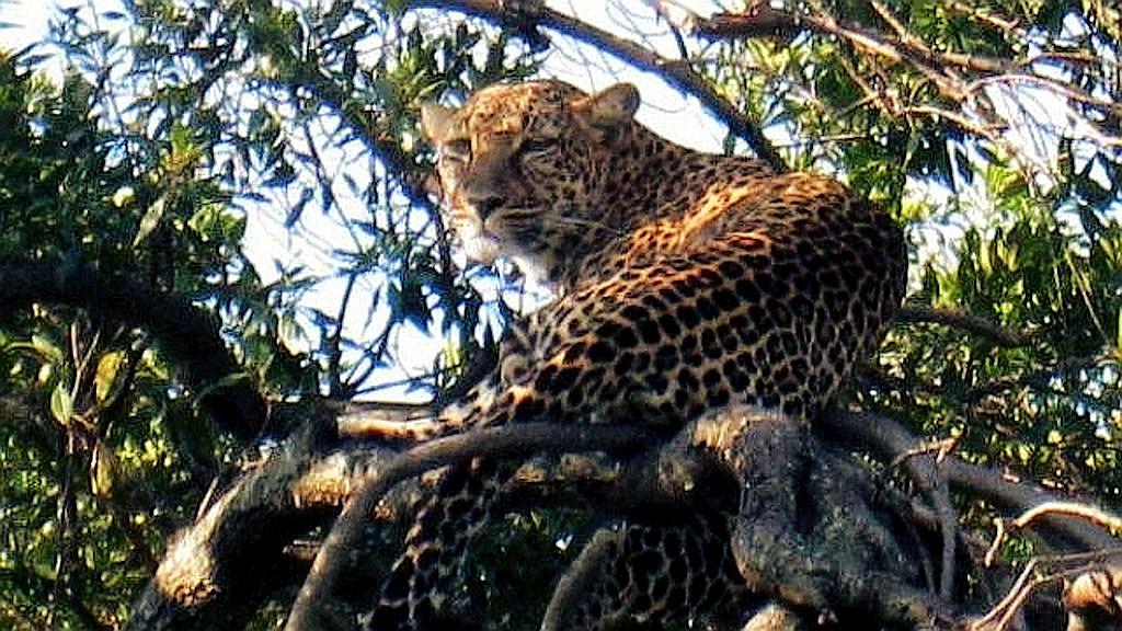 Leopardo scruta le prede da un albero